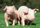 New Hope Group invests CNY3.2 billion for pig project in Inner Mongolia
